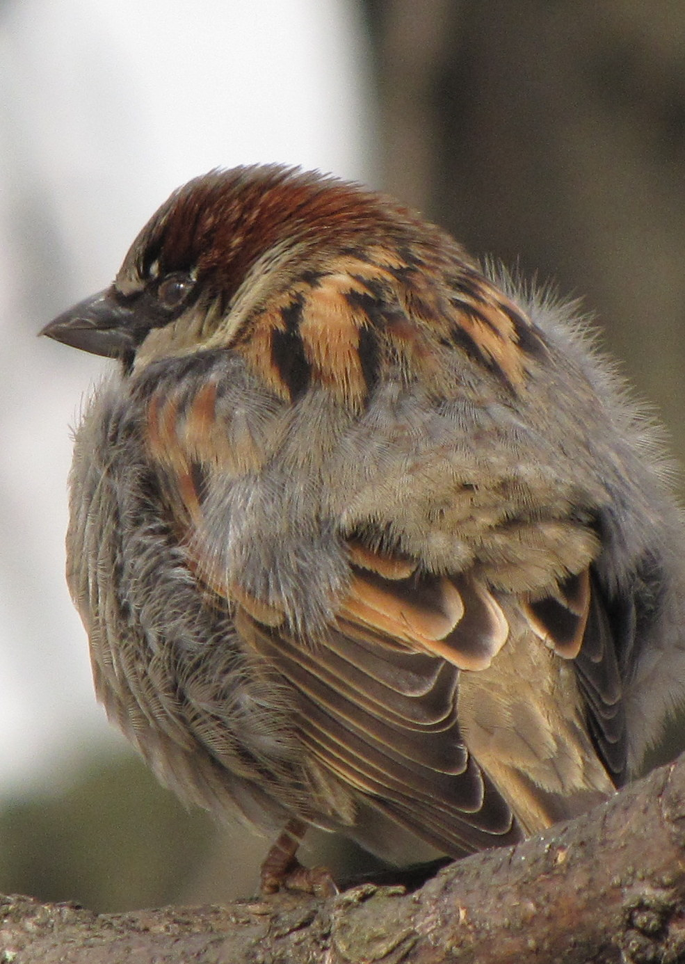young sparrow 2